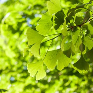 Grüne Blätter des Ginkgobaumes