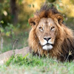 Zirkus verkauft Löwenkot zur Marderabwehr