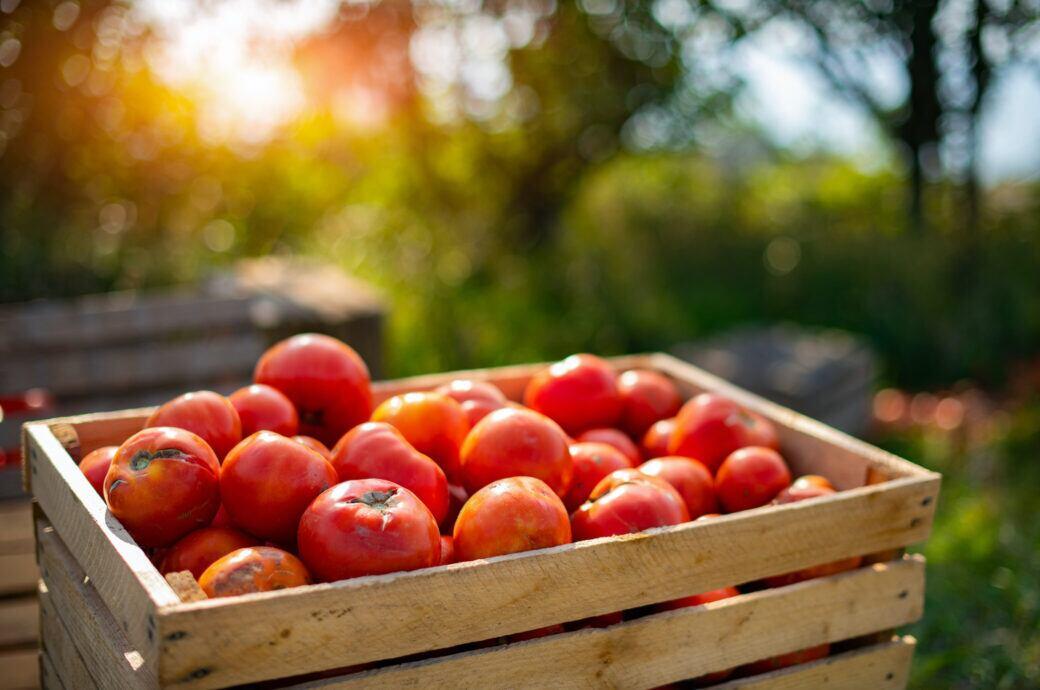 Braune Flecken Auf Tomaten