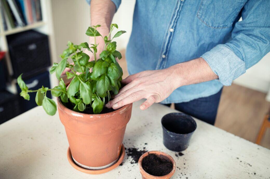 Ein Mann pflanzt Basilikum in einem Topf