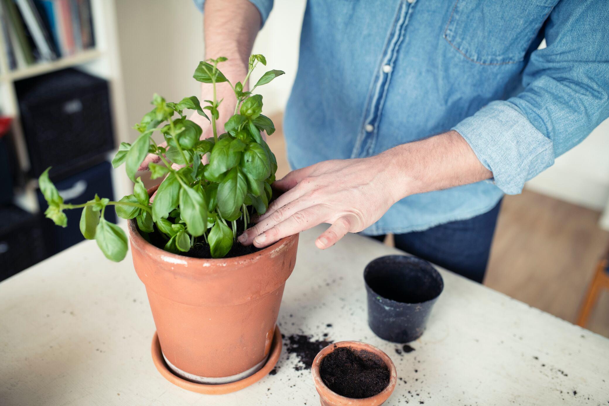 Tipps, damit Basilikum aus dem Supermarkt länger haltbar ist