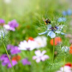 Bunte Wildblumenwise mit Hummel auf Blütenkelch