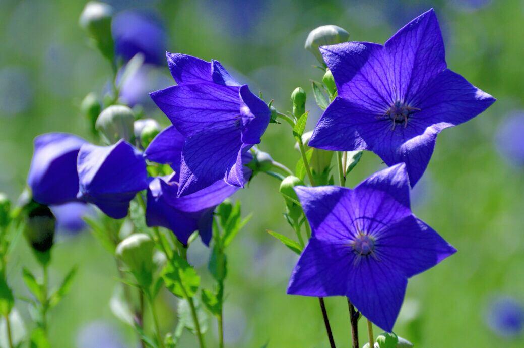 Ballonblumen: Ballonblumen mit violetten Blüten