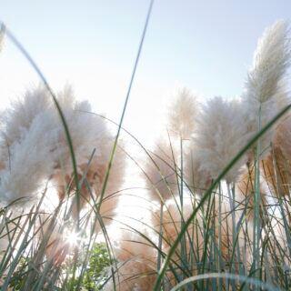 Pampasgras richtig schneiden, damit es fluffig bleibt