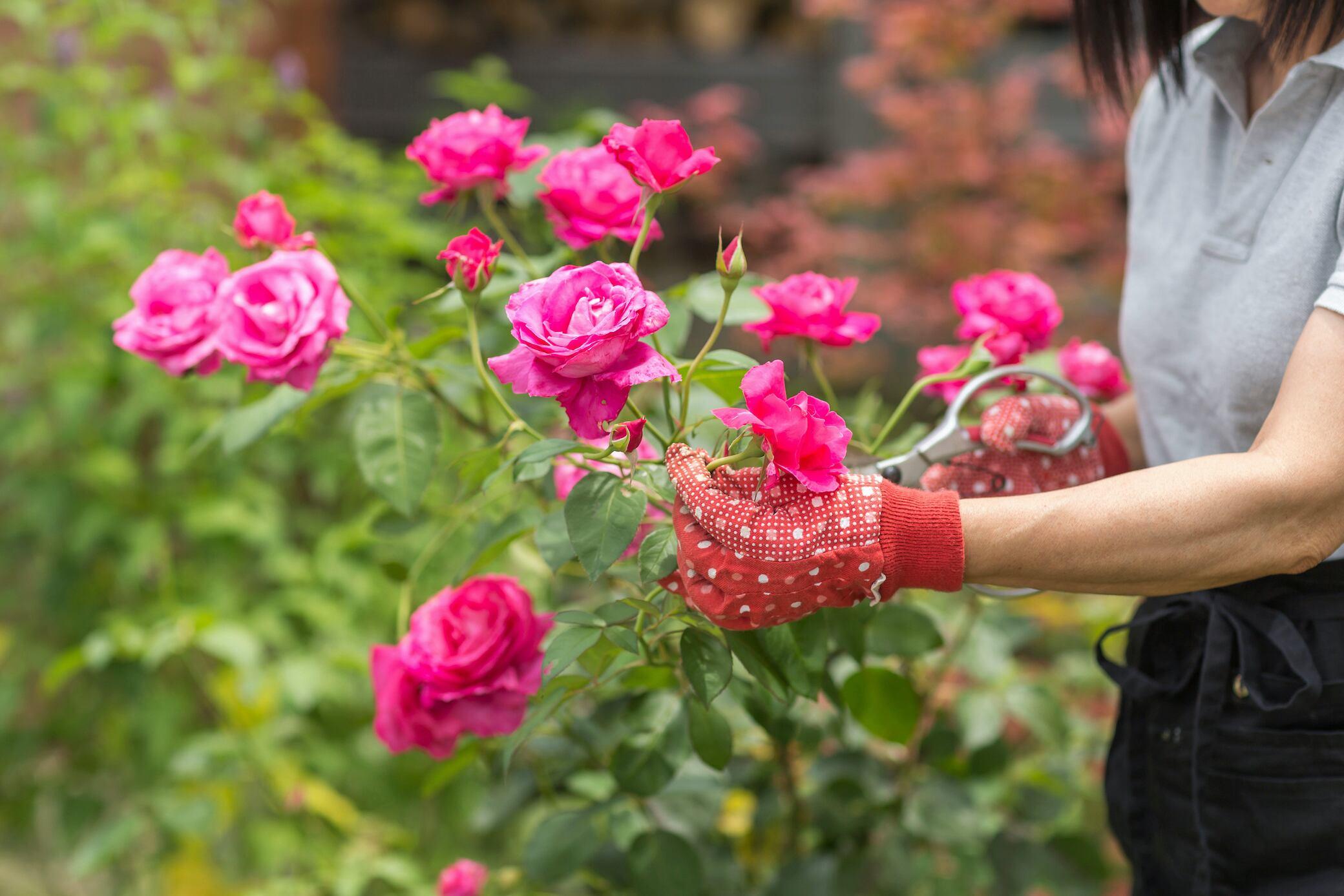 Die richtige Rose für jeden Garten