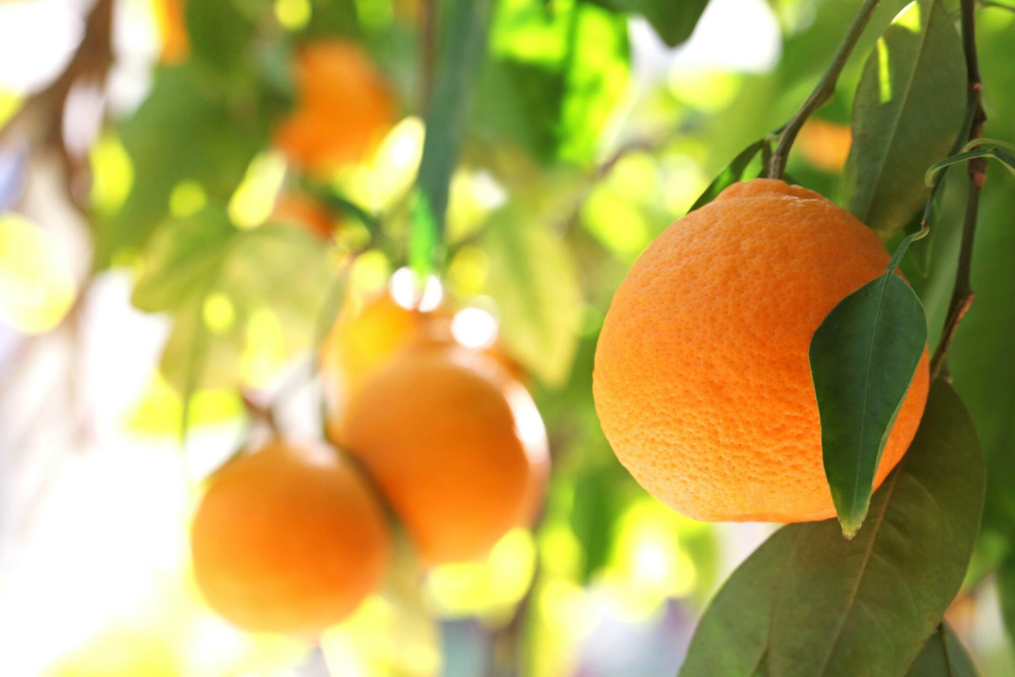 Orangenbaum – wie das Zitrusgewächs auch hierzulande wächst