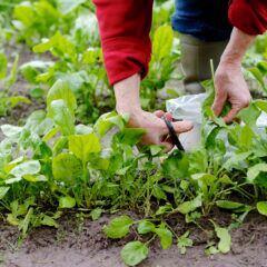 Spinat im Garten anpflanzen