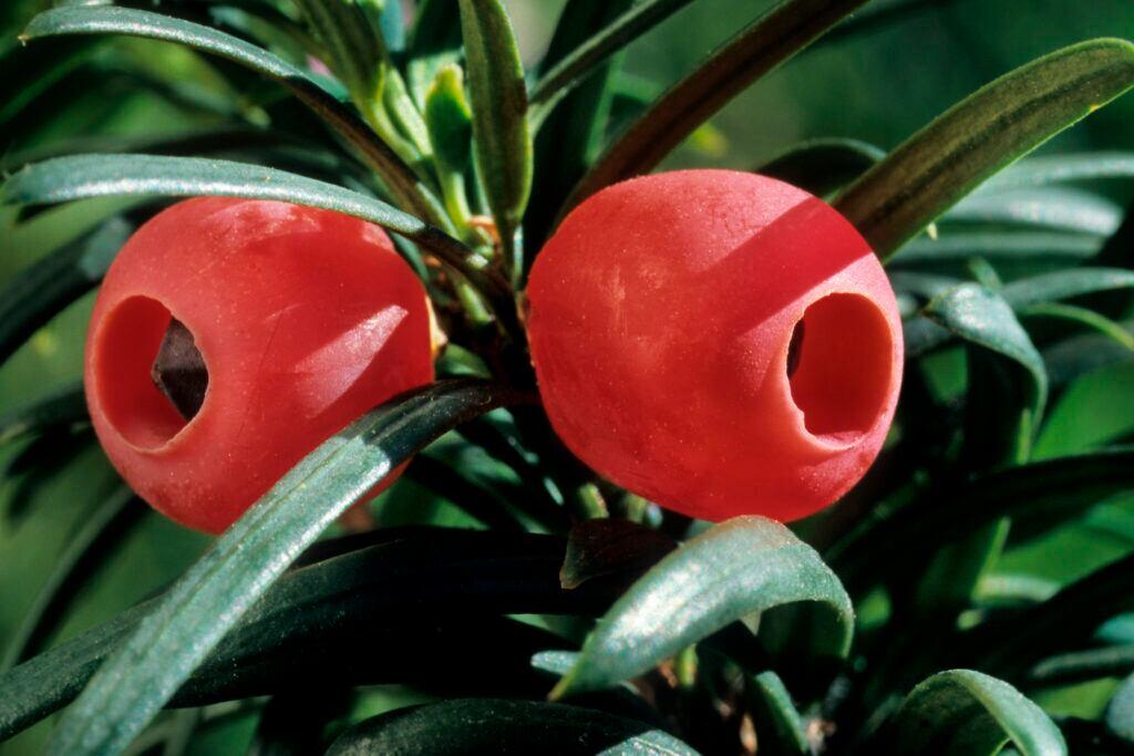 Giftige Pflanzen im Garten: Knallrot sin die Früchte der Eibel, die Samen und Nadeln sind sehr giftig