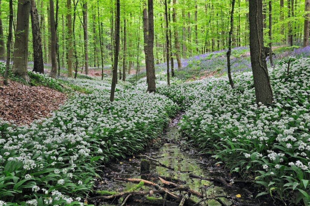 Giftige Pflanzen im Garten: Die Blätter des Bärlauchs ähneln denen des Maigrlöckchens
