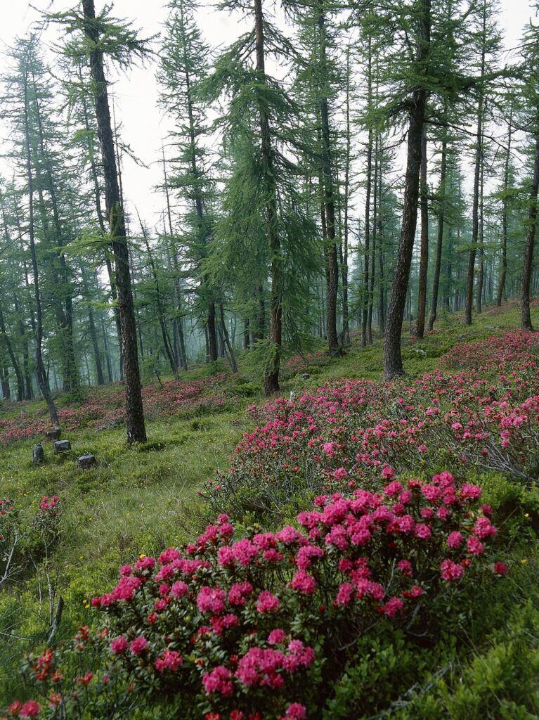 Rhododendron arboreum wird 20 Meter hoch