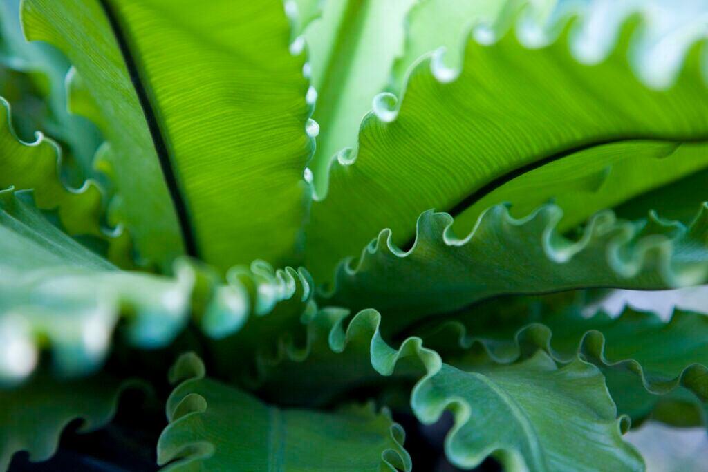 Blätter des Netzfarn