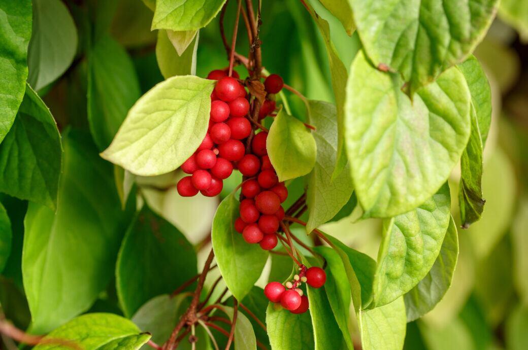 Schisandra im Garten anpflanzen und pflegen