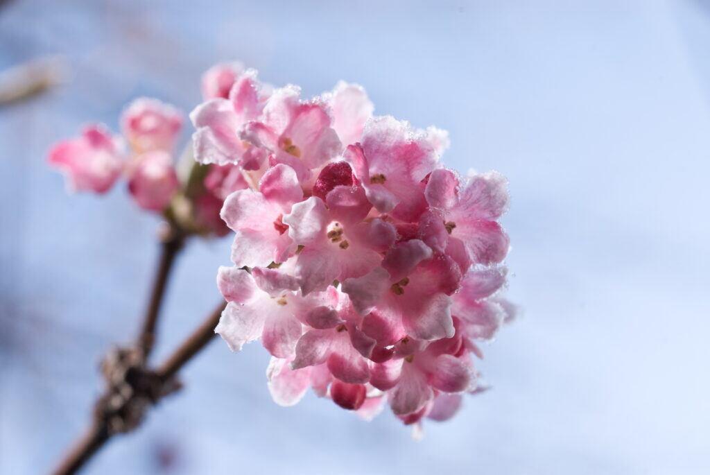Pflanzen Winter: Winterschneeball mit rosa Blüten