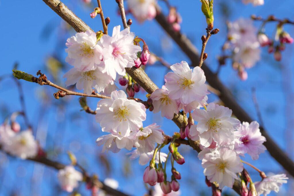 Pflanzen Winter: Schneekirsche mit rosa Blüten