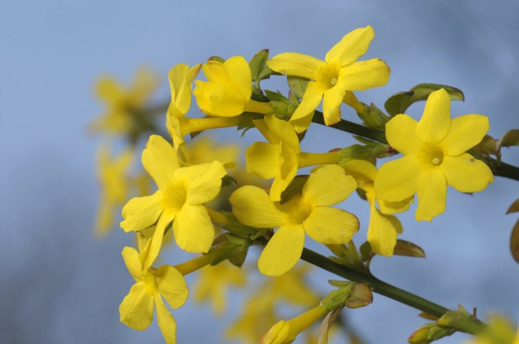 Pflanzen Winter: Winterjasmin mit gelben Blüten