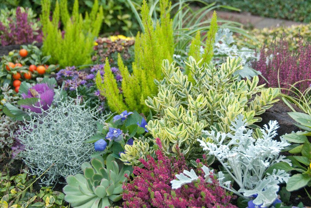 Verschiedene Herbstpflanzen in einem Beet, u. a. Baumheide, Silberblatt, Stacheldraht und Sommerheide