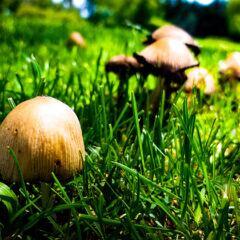 Pilze im Rasen erkennen und bekämpfen