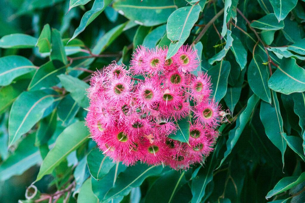 Eukalyptus Garten: Pinke Blüten von Eukalyptus