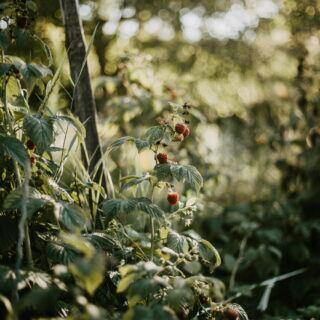Herbsthimbeeren im Garten anpflanzen