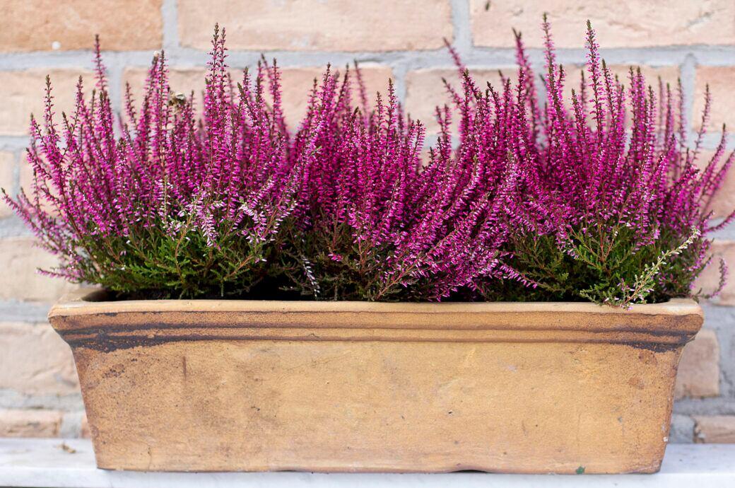 Heidekrautpflanzen in einem Blumenkasten vor einer Backsteinmauer
