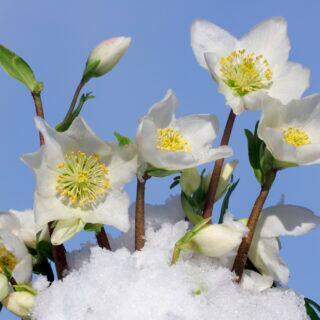 Pflanzen für Balkon und Garten, die im Winter blühen