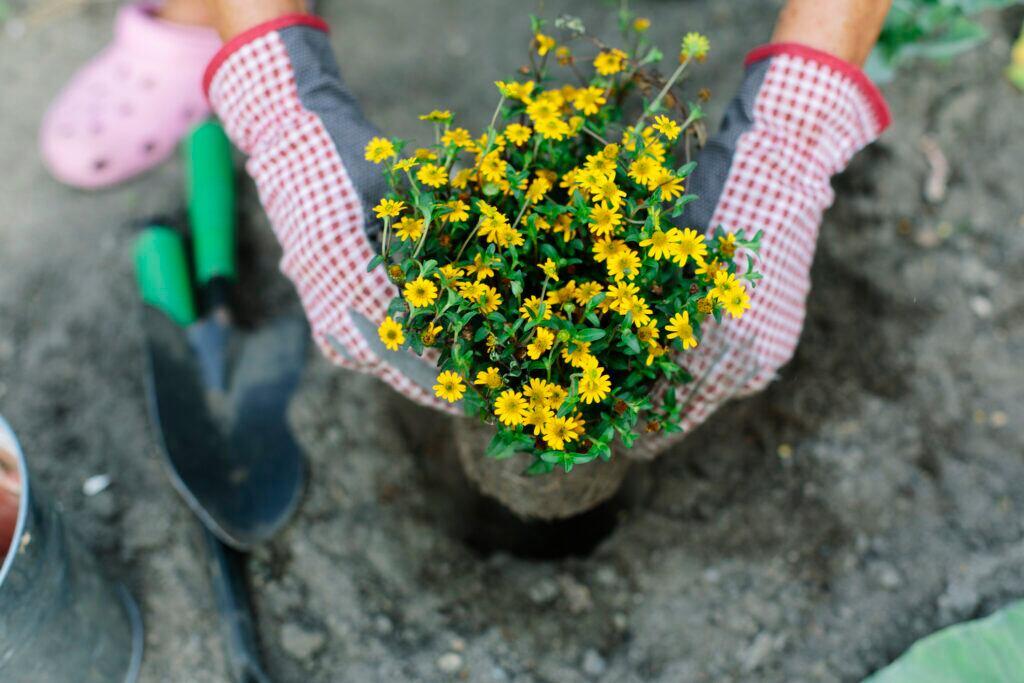 Eine Frau trägt Gartenhandschuhe und hält einen Blumentopf mit gelb blühenden Blumen in den Händen