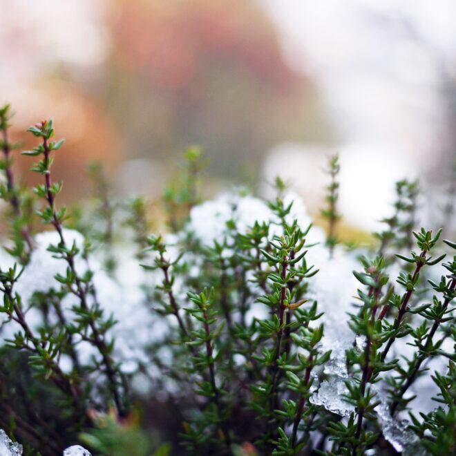 Frostharte Kräuter, die man auch im Winter ernten kann