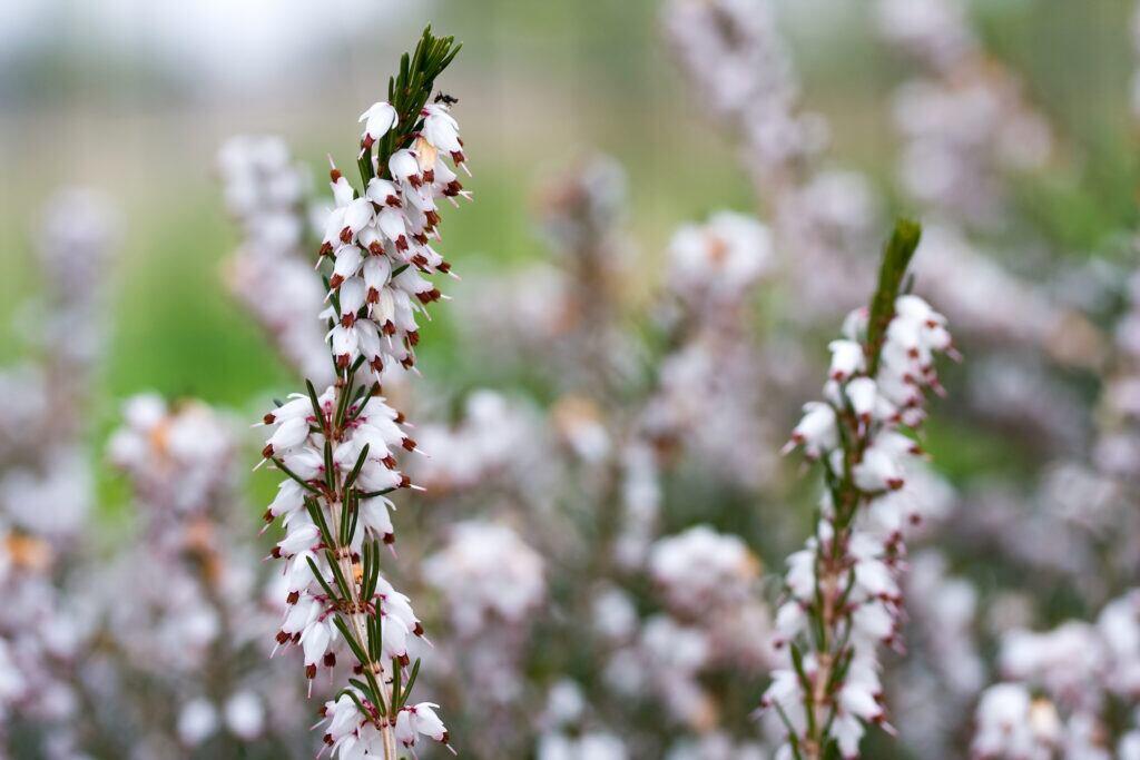 Detailansicht Schneeheide mit weißen Blüten