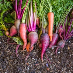 Ernte von Roter Beete, Karotten