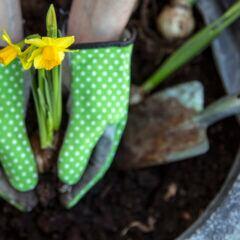 Blumenzwiebeln von Frühblühern wie beispielsweise Narzissen kann man bereits im Herbst in die Erde stecken.