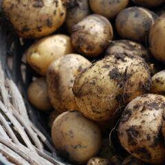 Reife Kartoffeln nach der Ernte
