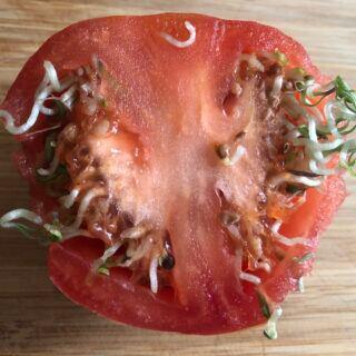 Viviparie: Sprossen keimen aus einer aufgeschnittenen Tomate