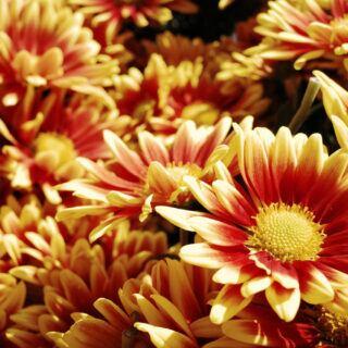 Chrysanthemen Garten