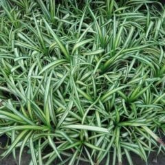 Grünlilie als Zimmerpflanze und für den Garten
