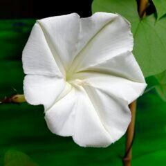 Mondwinde für Haus und Garten: Weiße Blüte der Mondwinde