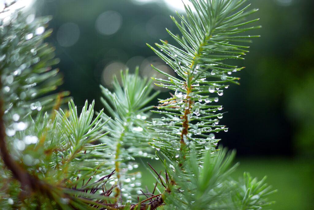 Beliebte Nadelbäume für den Garten im Vergleich